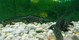 El 'Gallipato', único anfibio urodelo que habita en la Comunitat, en Bioparc