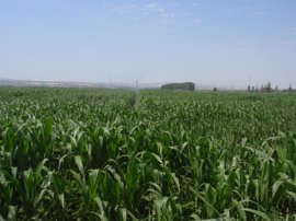 Los Veintiocho no logran una mayoría para aprobar o rechazar la autorización a tres maíces transgénicos