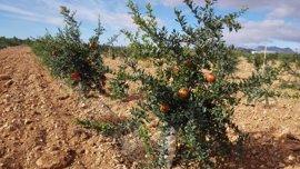 Un estudio busca las variedades de granado que mejor se adaptan al Noroeste de la Región