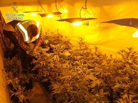 Detenidos tres vecinos de Boiro por cultivar marihuana e intervenidas 312 plantas