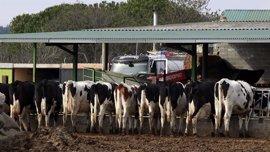 Galicia cierra 2016 con la pérdida de 615 granjas lácteas