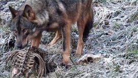 Fapas responsabiliza al Gobierno de Asturias de los daños del lobo