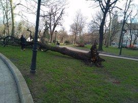 El viento derriba un árbol en el parque San Francisco de Oviedo