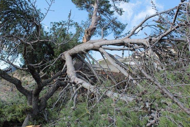 En Gaines el viento ha tumbado un gran árbol