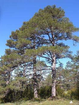 El pino negro (Pinus uncinata) es una conífera de alta montaña