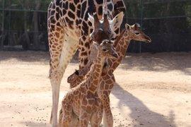 Nacen dos crías de jirafa, especie en alto riesgo de extinción, en el Oasis Park Fuerteventura
