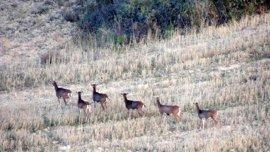 """El Gobierno de Navarra autoriza """"de modo excepcional"""" la caza de muflones en 10 cotos de Valdorba"""