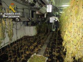 Intervenidas más de 1.600 plantas de marihuana en un chalé de lujo de Gójar