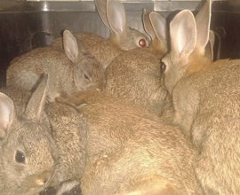 La Policía Canaria se incauta de 18 conejos que se vendían por Internet como salvajes para su suelta