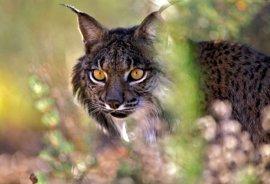 Junta licita un nuevo paso de fauna entre Almonte y El Rocío para reducir el riesgo de atropello del lince