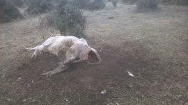 UPA-COAG alerta de que una decena de buitres han matado a una vaca y un ternero en Monleras (Salamanca)