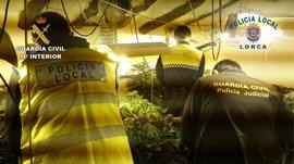 Desmantelado un punto de cultivo de marihuana en Lorca capaz de producir, al menos, cuatro cosechas anuales
