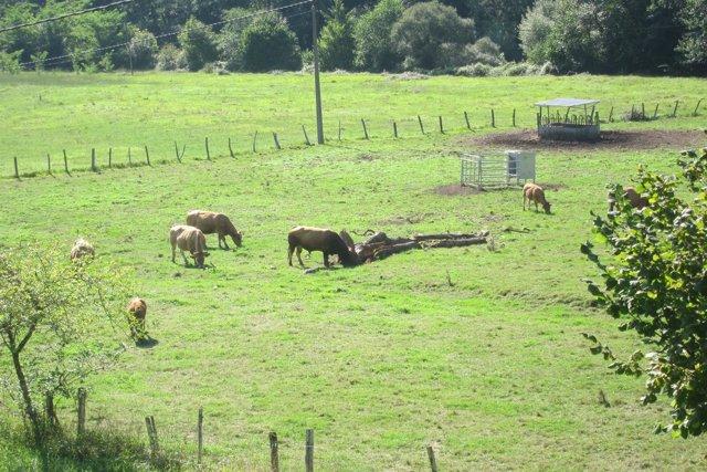 Vacas, rural, Asturiana