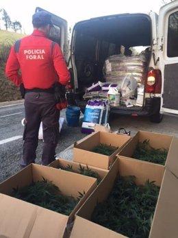 Esquejes de marihuana incautados por la Policía Foral