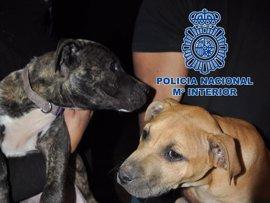 La red de peleas de perros organizó cuatro combates en Tenerife y tenía un almacén clandestino en Adeje