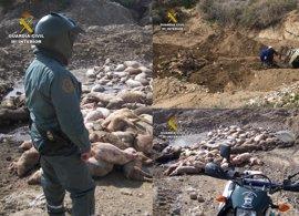 Investigados los dos responsables de una granja por dejar un centenar de cadáveres de cerdos a la intemperie