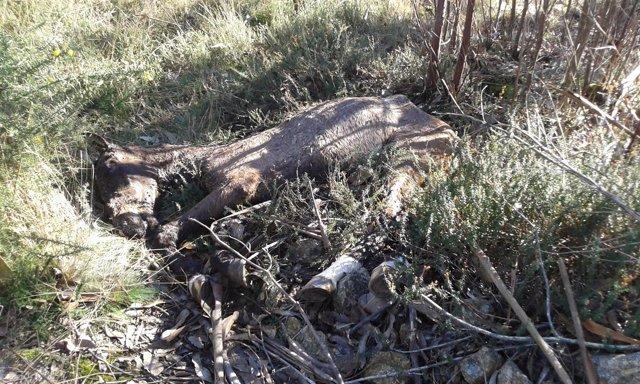 Caballo muerto abandonado en Arteixo (A Coruña)
