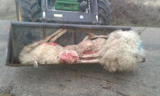 Ovejas muertas tras el ataque de los lobos.