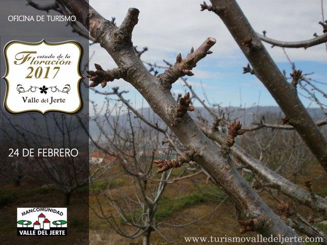 Información sobre la floración de los cerezos del Jerte