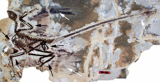 Fósil de microrraptor incluye impresiones de alas con plumas