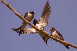 ¿Cuando llegarán las golondrinas este año a la Península Ibérica?