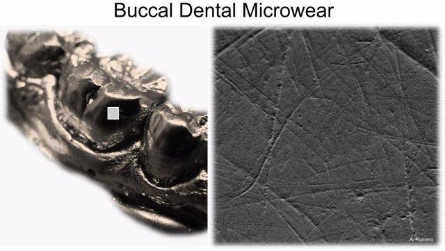 Detalle de los molares analizados