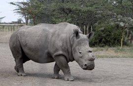Desciende la muerte de rinocerontes a manos de cazadores furtivos por segundo año consecutivo en Sudáfrica