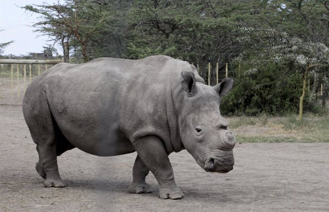 Un ejemplar de rinoceronte blanco sin cuerno en un parque natural.