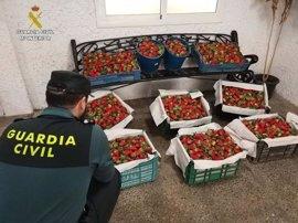 La Guardia Civil pone en marcha un dispositivo especial para evitar el robo de fresas durante la campaña