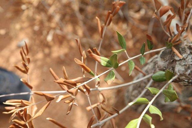 Enfermedad de la Xylella fastidiosa en olivo