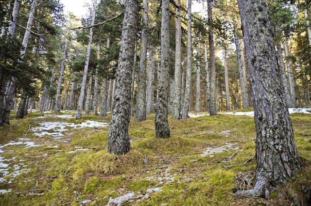 Bosque de pino negro