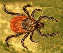 Investigadores de la UCLM descubren las estrategias de las garrapatas para protegerse de los patógenos