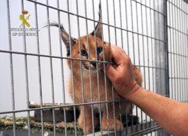 Guardia Civil localiza en una vivienda 19 primates y 70 aves para el tráfico nacional e internacional