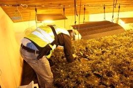 Desmantelan dos plantaciones de marihuana con 500 plantas en Reus y Miami Platja