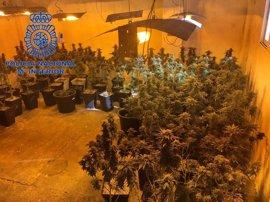 Detienen a un matrimonio de 54 años por cultivar 273 plantas de marihuana en su casa de Gandia