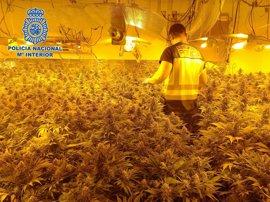A prisión cuatro detenidos en Almería por el cultivo de más de 500 plantas de marihuana
