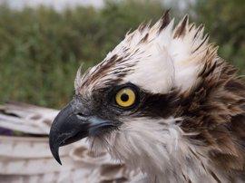 El águila pescadora 'Ingrid' monitorizada por el GOB regresa a Mallorca