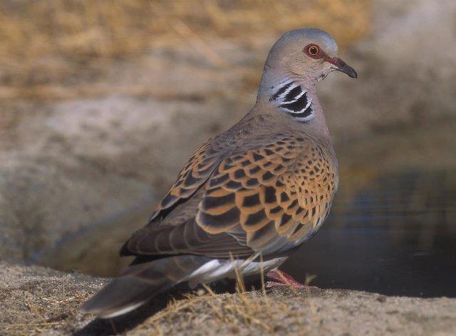 Tórtola europea SEO/BirdLife
