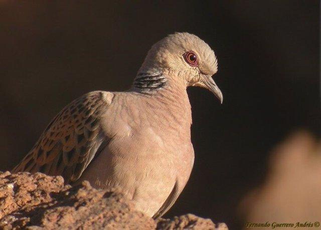 Tórtola europea (Streptopelia turtur), pájaro, ave, especie, animal