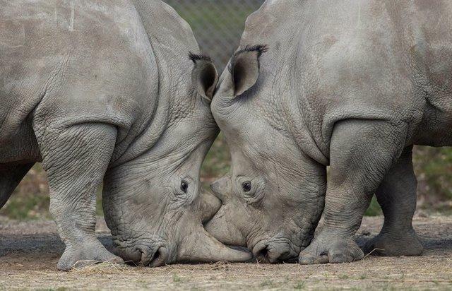 Rinocerontes en el zoo de Thoiry