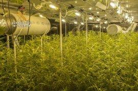 Desmantelan en Ajo el mayor cultivo de marihuana intervenido en Cantabria