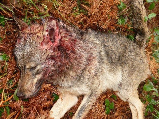 Un lobo muerto