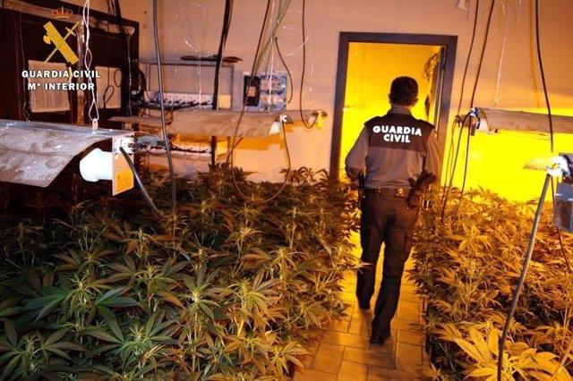Plantación de marihuana desmantelada en Almodóvar del Río