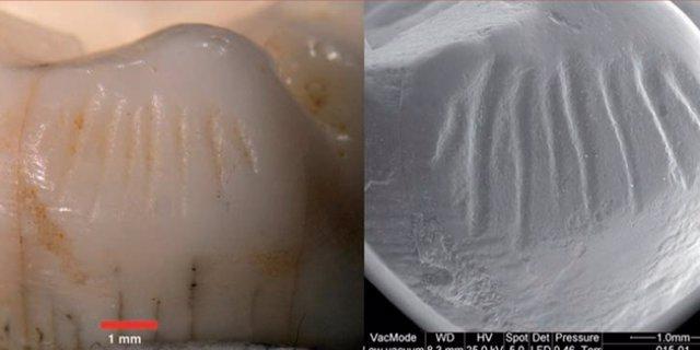 Restos de molares de neandertales de El Sidrón