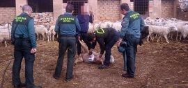 Dos detenidos como presuntos autores del robo de 150 ovejas de una explotación ganadera en Oliva de Mérida
