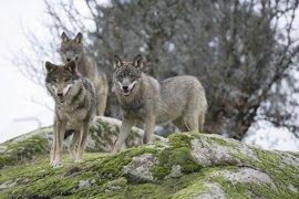"""Podemos reclama en el Parlamento medidas contundentes ante las """"amenazas"""" que acechan al lobo ibérico"""