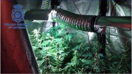 Desmantelan una plantación de marihuana en Torrent de una pareja de jóvenes en su casa