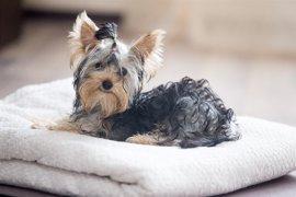 El Congreso pretende asegurar esta semana la prohibición de la amputación de la cola de los perros