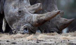 Tailandia se incauta 21 cuernos de rinoceronte en el aeropuerto de Bangkok