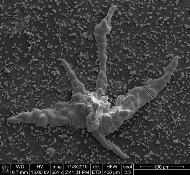 Ejemplo biomorfo de carbonato de silicio